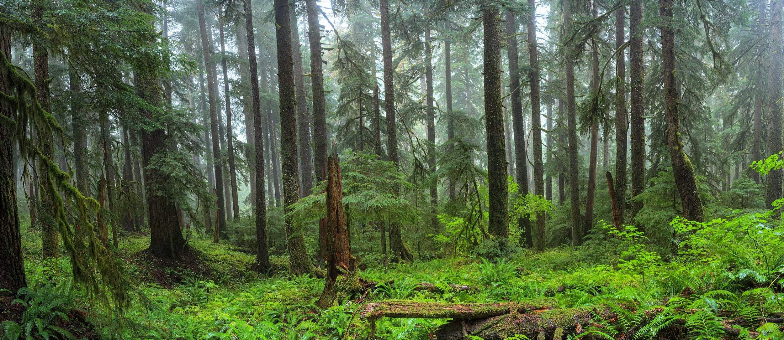 Foggy Green forest with ferns