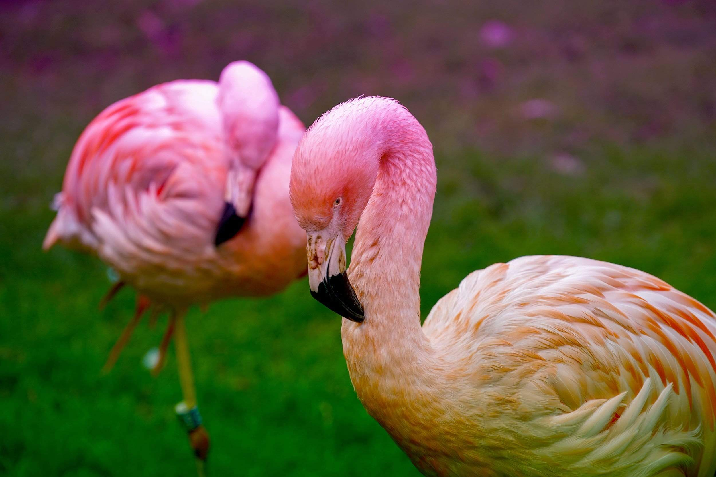 Pink Swans on green grass