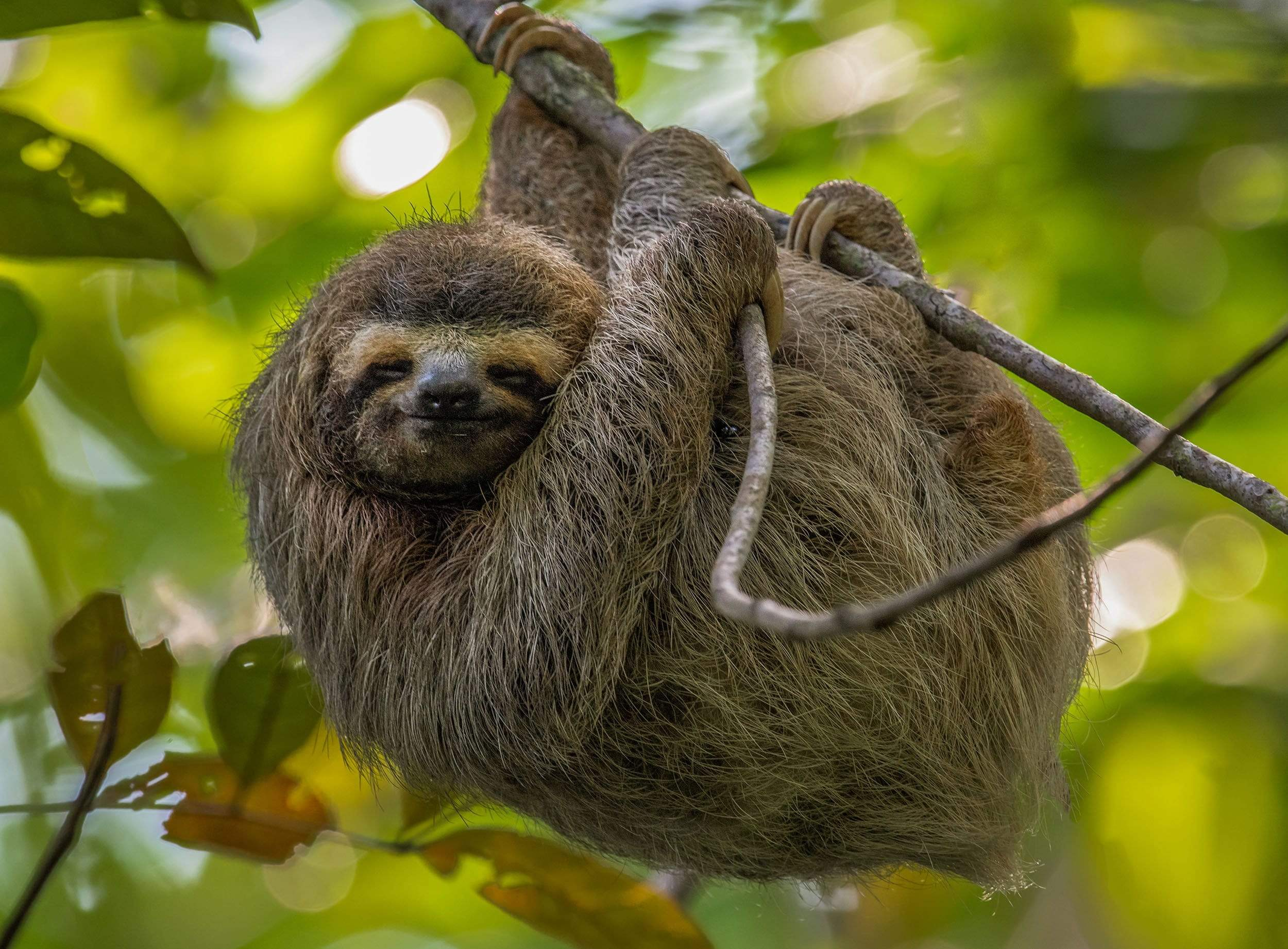 Sloth hanging in tree with green background