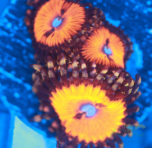 WWC Bloodsuckers Zoa