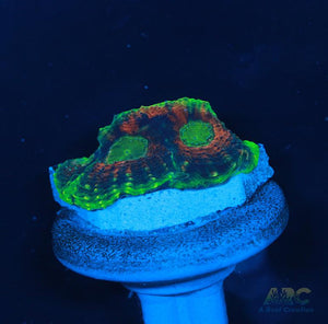 CC Orange Crush Acan Echinata