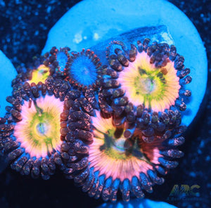 CB Rainbow Infusion and fire and ice Zoas