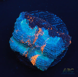 ARC Bottom Dweller Acan Echinata