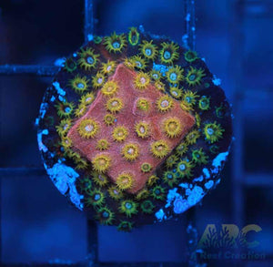 Copper Cyphastrea Growout Frag