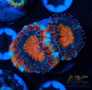 ARC Candy Corn Acan