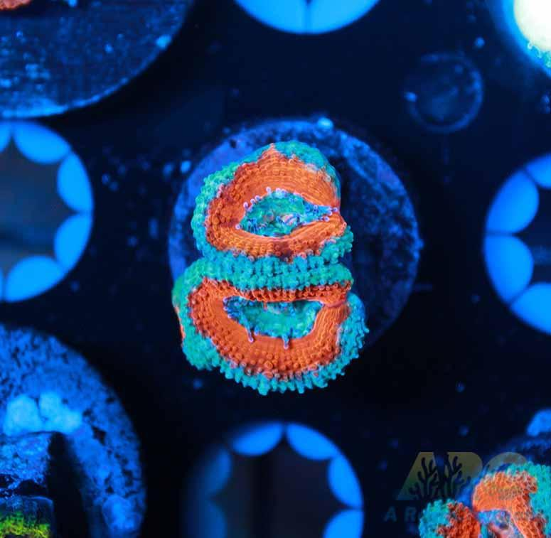 Red and Teal Acan