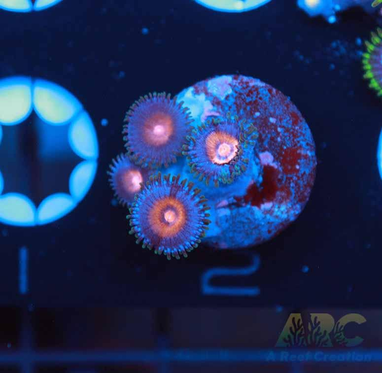 JF Drunk Punch Zoas