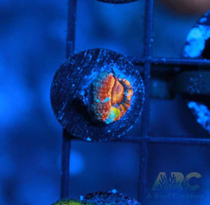Unknown Acan