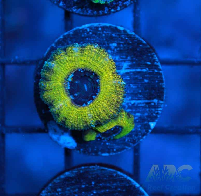 ARC Melow Yellow Acan