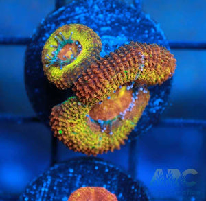 ARC Agent Orange Acan