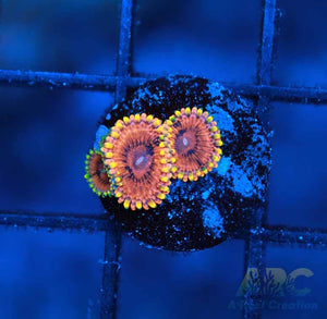 IA Burning Embers Zoa