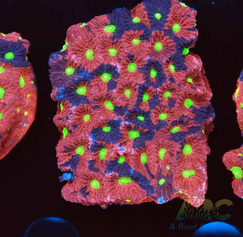 Multicolor War Coral XL Frag