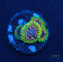 Load image into Gallery viewer, GB Golden Leopard Zoas