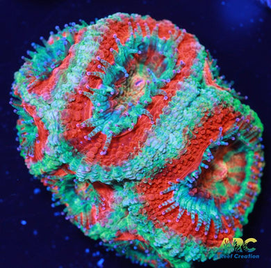 ARC Red and Teal Acan