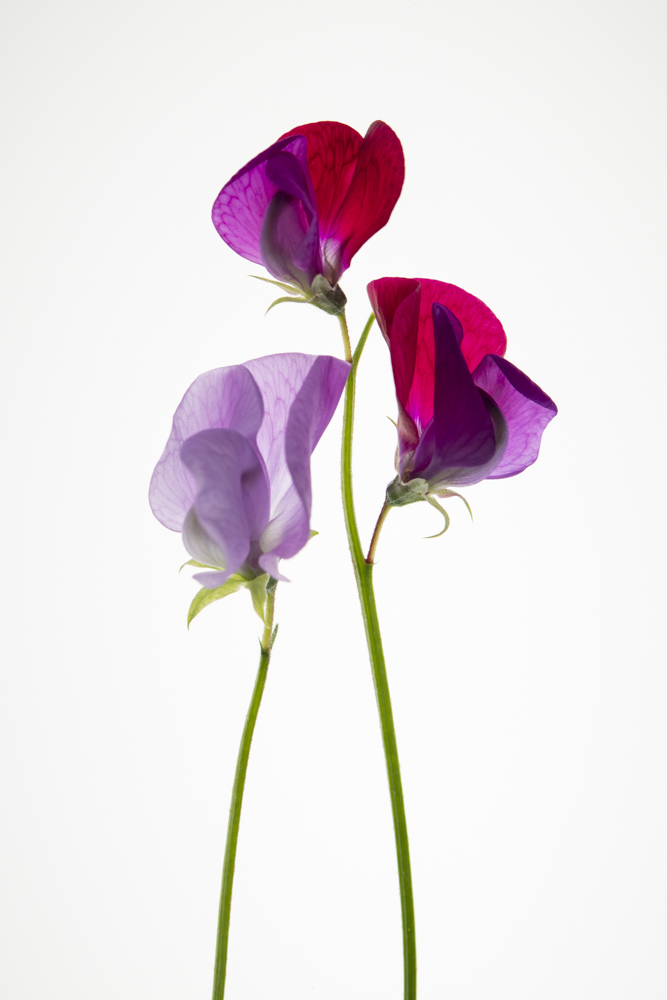 Still Life Sweet Peas 5x7 matted photo
