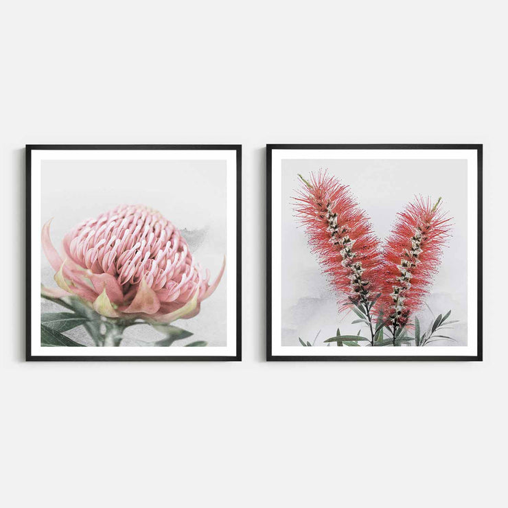 Print Workshop, Framed Print (Square Size), Blooming Waratah & Native Bottle Brush, Natural Oak Box Frame, Black Coating with White Border