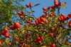 Rosehip oil: the miracle skin saviour