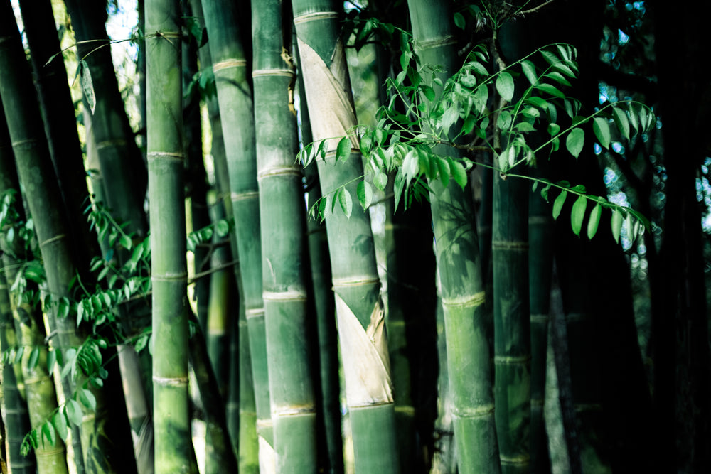 Bamboo for making toilet paper
