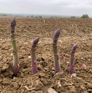 How is asparagus grown?