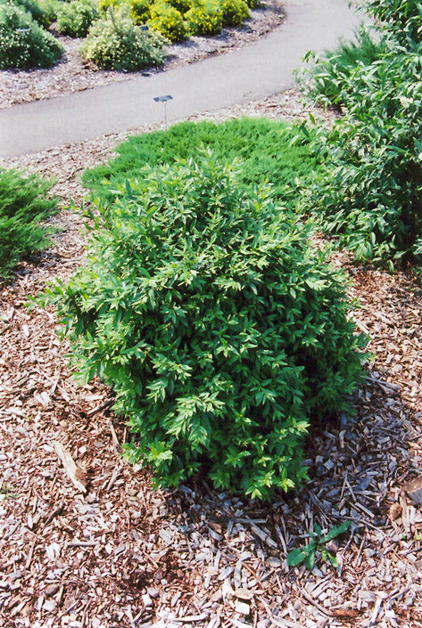 Lodense Common Privet