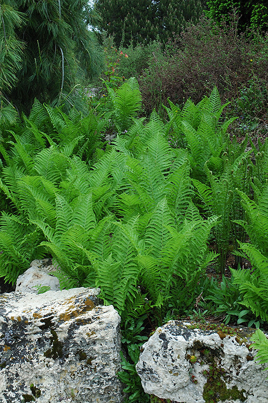 Ostrich Feather Fern