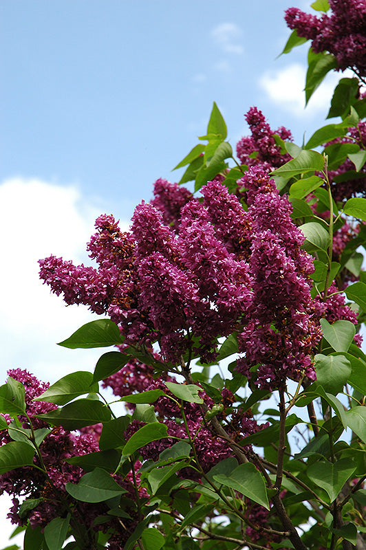 Charles Joly Lilac Standard