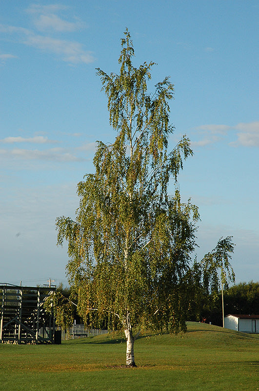 Cutleaf Weeping Birch
