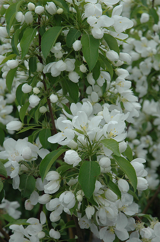 Spring Snow - Flowering Crabapple
