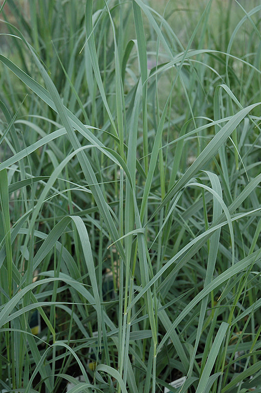 Heavy Metal Switch Grass Panicum