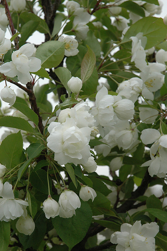 Madonna-Semi Weeping - Flowering Crabapple