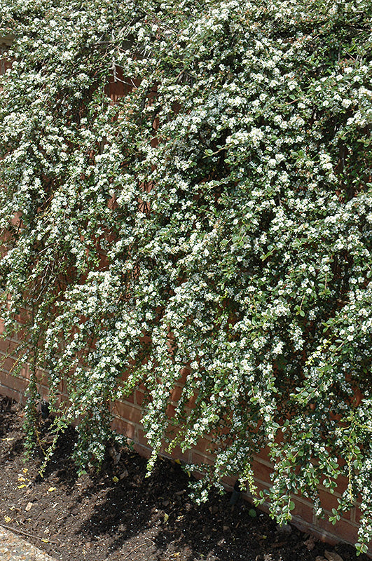 Coral Beauty Cotoneaster