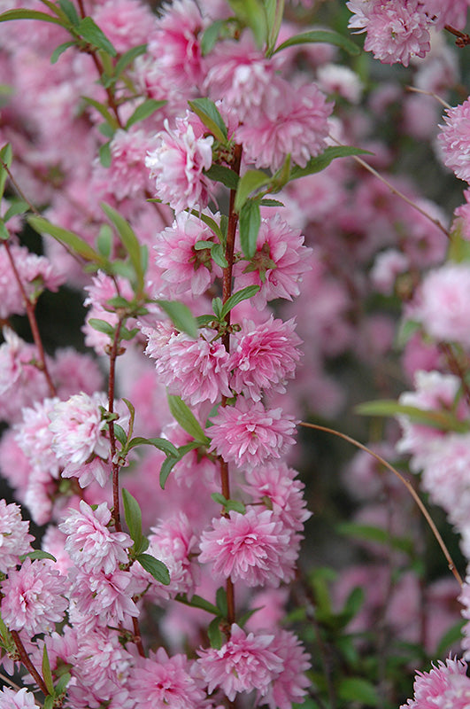 Double Flowering Almond Standard