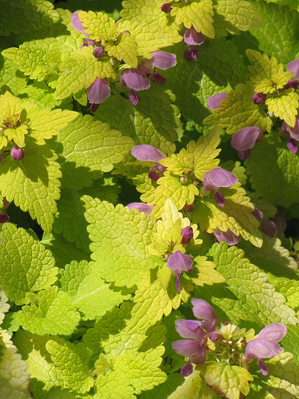 Golden Spotted Dead Nettle Lamium