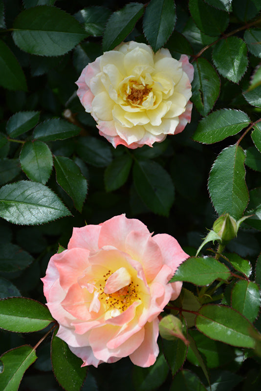 Oso Easy® Honey Bun Landscape Rose