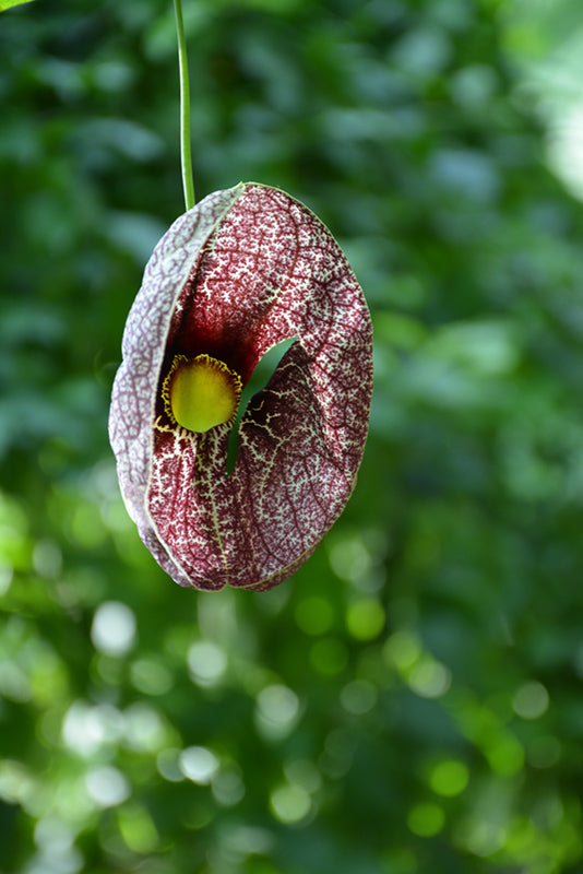 Dutchmans Pipe