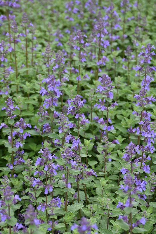 Blue Carpet Catmint