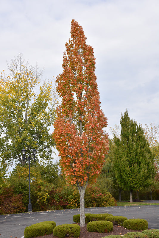 Armstrong Red Maple