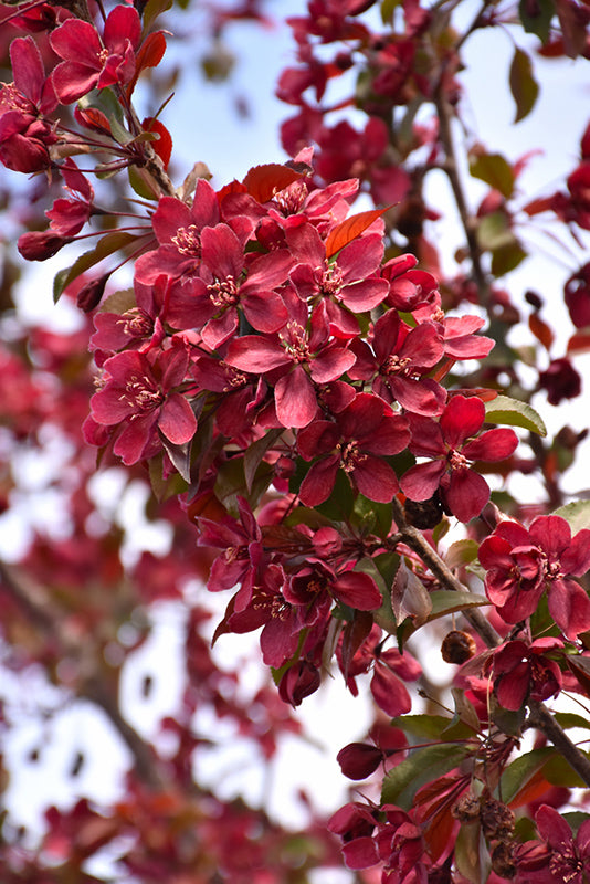 Royalty - Flowering Crabapple