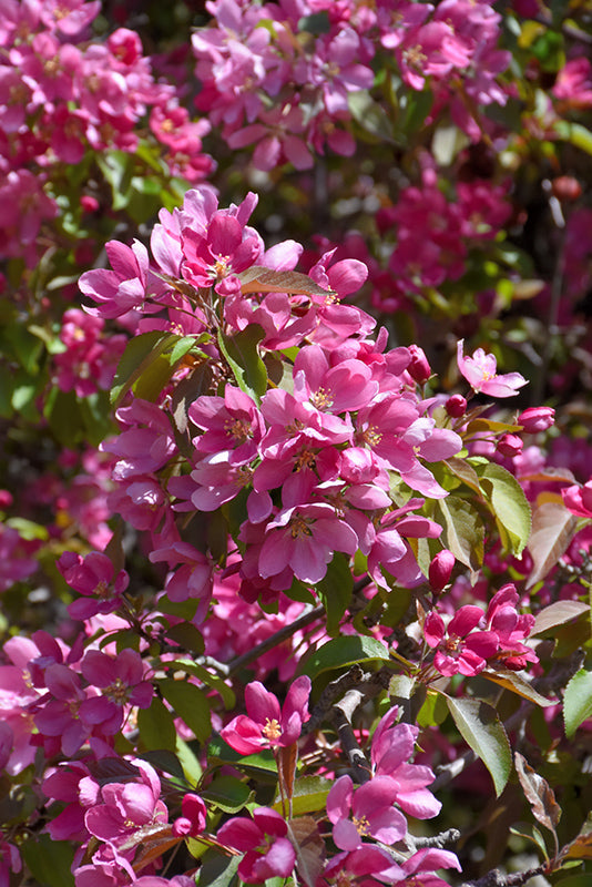 Makamik - Flowering Crabapple