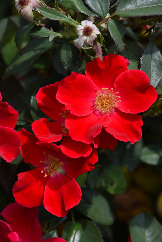 Oso Easy® Cherry Pie Landscape Rose