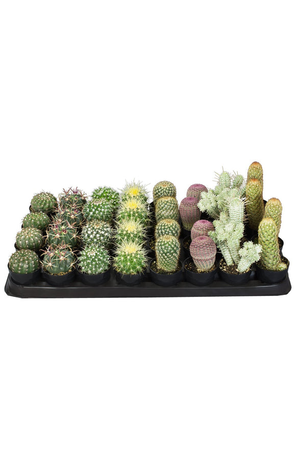 Cacti Assorted