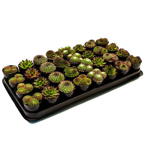Sempervivum Cacti Assorted