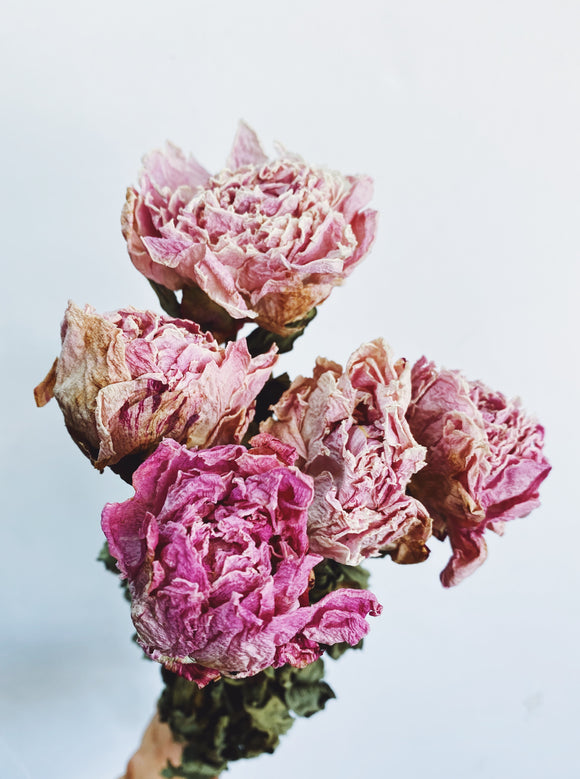 Dried Pink Peonies