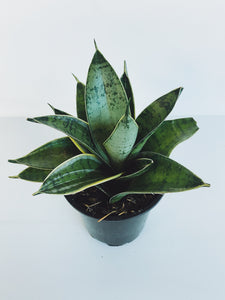 """Night Owl"" Sansevieria"