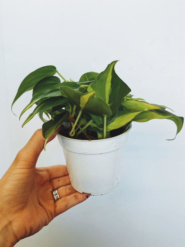 """Brasil"" Philodendron"
