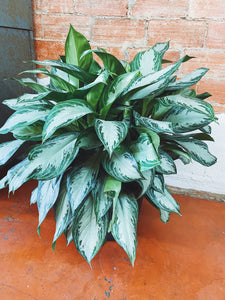 """Silver Queen"" Chinese Evergreen"