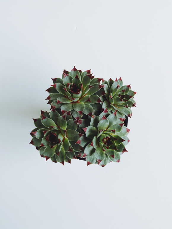 """Hens and Chicks"" Succulent"