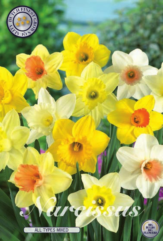 Narcis All Types Mixed