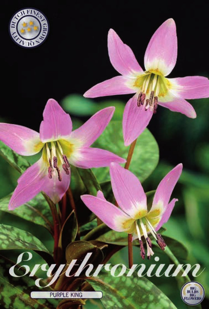 Erythronium Purple King