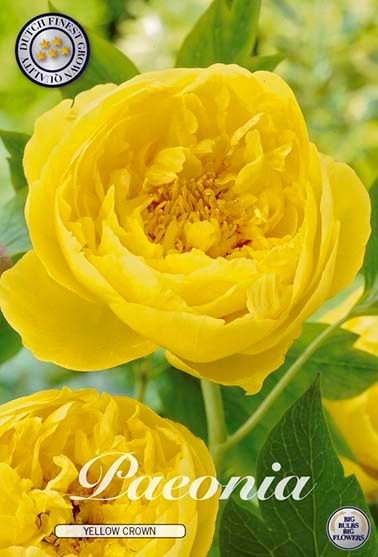 Pioen Paeonia Yellow Crown
